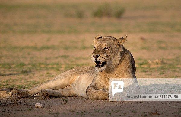 African lion (Panthera leo) -young male  crossing the gravel road  Kgalagadi Transfrontier Park  Kalahari desert  South Africa/Botswana.