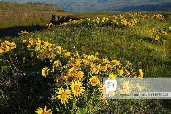 Balsamroot (Balsamorhiza deltoidea)  Tom McCall Preserve  Columbia River Gorge National Scenic Area  Oregon.