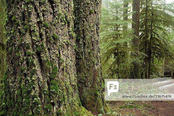 Forest along Butte Creek Falls Trail  Santiam State Forest  Oregon.