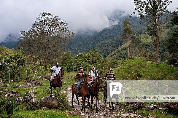 Several horses riding through Cocora Valley  Colombia. This valley is a valley in the department of Quindío in the country of Colombia. It is located in the Central Cordillera of the Andean mountains. The valley is part of the Los Nevados National Natural Park  incorporated into the existing national park by the Colombian government in 1985.