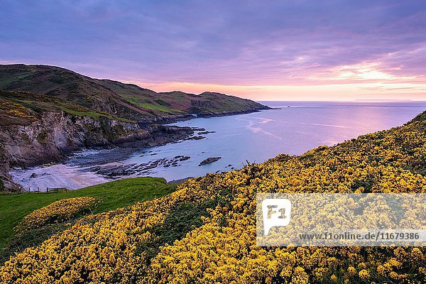 Gorse flowering in spring on the cliff top overlooking Rockham Beach and Morte Point on the North Devon coast at dusk  England.