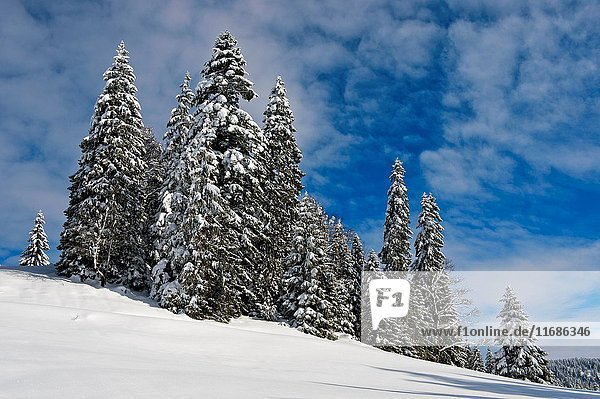 Winter landscape with snow-covered coniferous trees in the Swiss Jura mountain range near Saint-Cergue  Vaud  Switzerland.