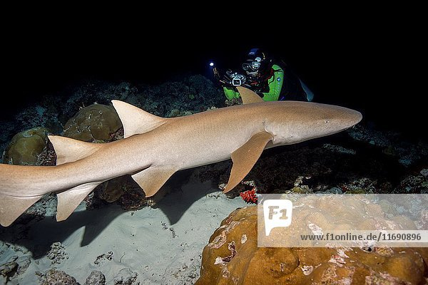 Underwater photographer shooting Tawny nurse sharks (Nebrius ferrugineus) swim over coral reef in the night  Indian Ocean  Maldives.