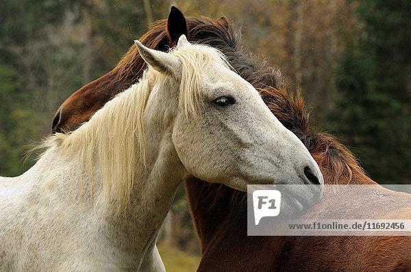 Horses groom each other  Bystritsa village area  Carpathian Mountains  Ivano-Frankivsk region  Ukraine