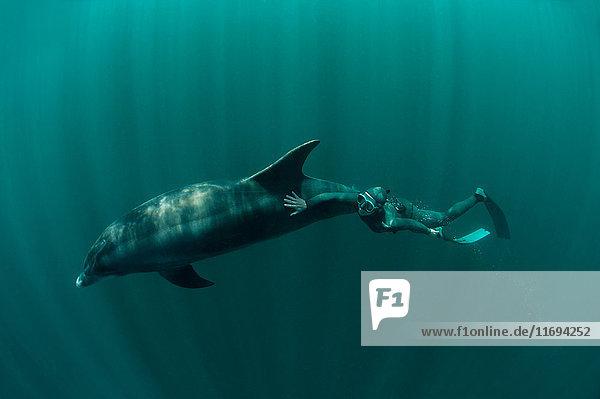 Taucher beim Schwimmen mit Delphin