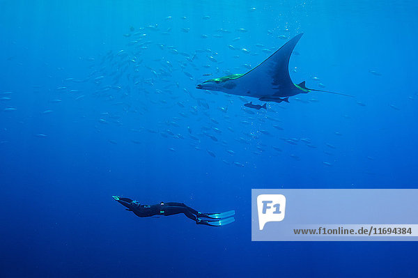 Diver swimming with ray and fish