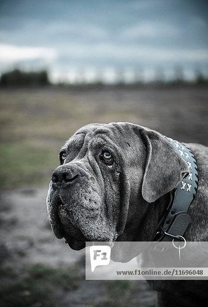 Nahaufnahme-Porträt eines großen grauen Hundes