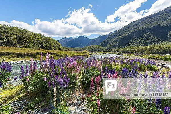 Purple Large-leaved lupines (Lupinus polyphyllus) on a river  Eglington River  Earl Mountains  Fiordland National Park  Te Anau  Southland Region  Southland  New Zealand  Oceania