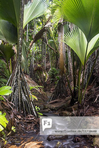 Fächerpalmen im Nationalpark Vallée de Mai  Praslin  Indischer Ozean  Seychellen  Afrika