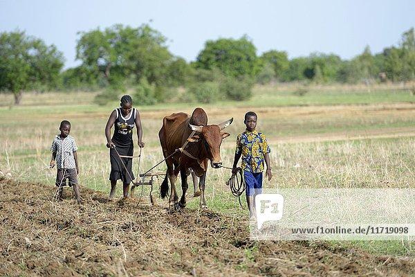Frau und Kinder pflügen Feld mit Ochse  Gomponsom  Provinz Passoré  Region Nord  Burkina Faso  Afrika