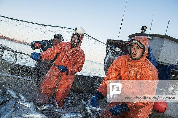 A commercial fishing crew hauls in a load of herring in the Bristol Bay region of Alaska  Southwest Alaska  USA