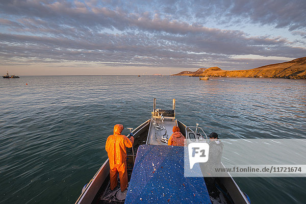 A commercial fishing crew and skipper haul in a load of herring in the morning in Kulukak Bay in the Bristol Bay region of Alaska  Southwest Alaska  USA