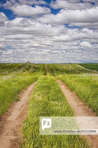 'Dirt tracks down a field of green grass; Herschel  Saskatchewan  Canada'