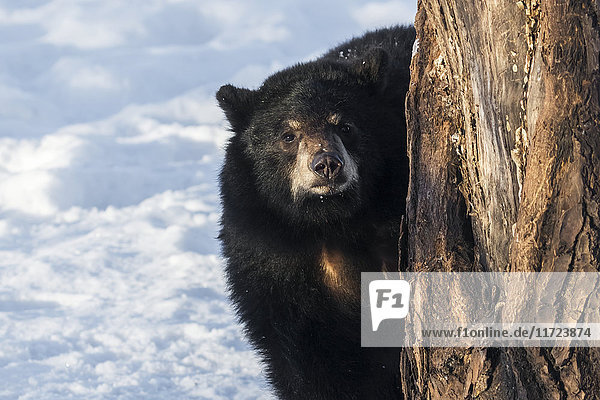 Black bear cub (ursus americanus) peeking out from behind a tree at the photographer  captive at Alaska Wildlife Conservation Center  South-central Alaska  United States of America
