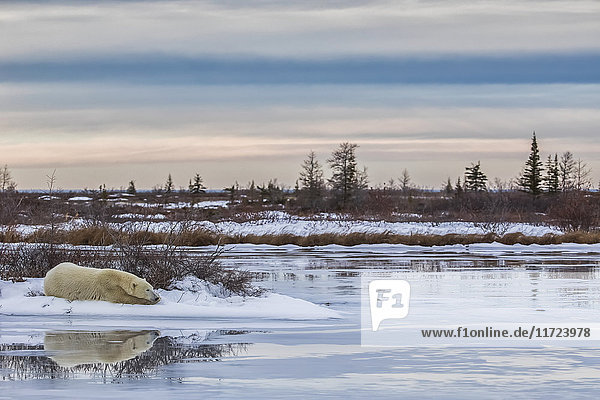 'Polar bear (ursus maritimus) laying alongside a thawing pond waiting for Hudson Bay to freeze over; Churchill  Manitoba  Canada'