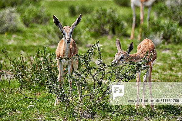 Kalahari-Springböcke  Antidorcas hofmeyri  Etoscha Wildpark  Namibia  Afrika