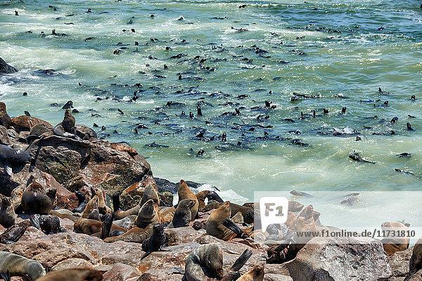 Südafrikanische Seebären  Arctocephalus pusillus  Skelettküste  Cape Cross  Namibia  Afrika