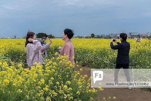 Rape Field  Jeju Island  Korea