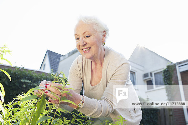 Senior woman in garden  picking herbs