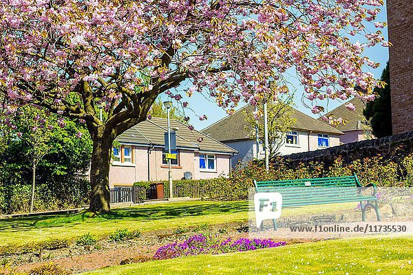 Airdrie  North Lanarkshire  Scotland  UK. Streets with beautiful Japanese Cherry tree blossom and a green bench.