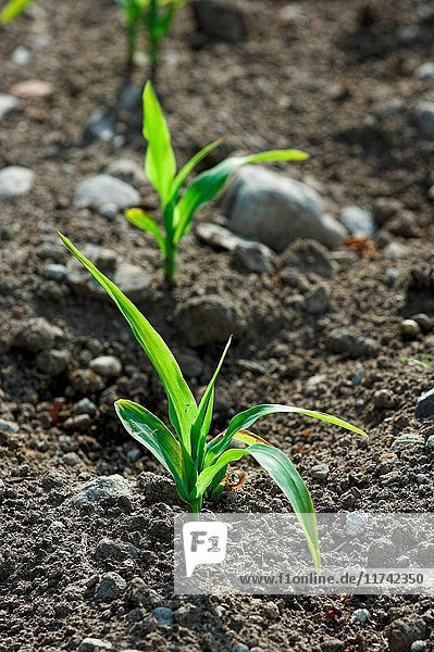 Maize seedlings emerging from soil. (Photo by: Wayne Hutchinson/Farm Images/UIG)