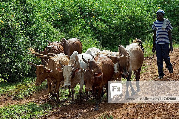 Herdnsman in Kenya moving traditional breed of cattle down road. (Photo by: Wayne Hutchinson/Farm Images/UIG)