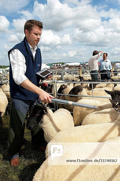 Checking sheep with electronic identification device at Thame sheep fair 2012. (Photo by: Wayne Hutchinson/Farm Images/UIG)