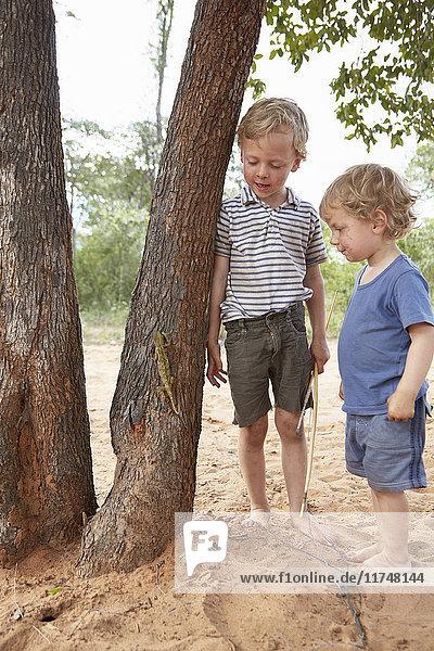 Zwei Jungen beobachten Chamäleon beim Baumklettern