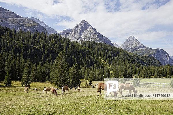 Herd of horses grazing in valley  Ehrwald  Tyrol  Austria