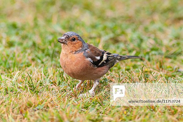A male Chaffinch (Fringilla coelebs) with deformed feet in the uk.