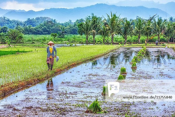 Harvesting rice on the paddy fields near Yogyakarta  Java  Indonesia  Asia.