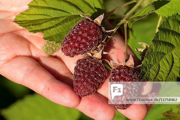 Loganberries  Marion County  Oregon.
