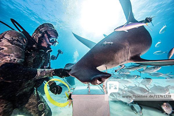Taucher neben Hammerhai  Unterwassersicht  Bimini  Bahamas
