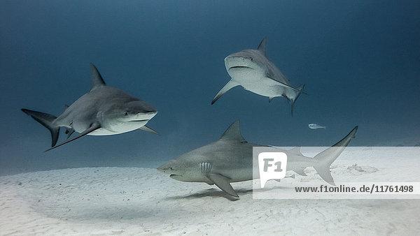 Gruppe von Bullenhaien  Unterwassersicht  Playa del Carmen  Mexiko