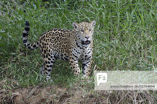 Young jaguar (Panthera onca) on riverbank  Cuiaba River  Pantanal  Mato Grosso State  Brazil  South America