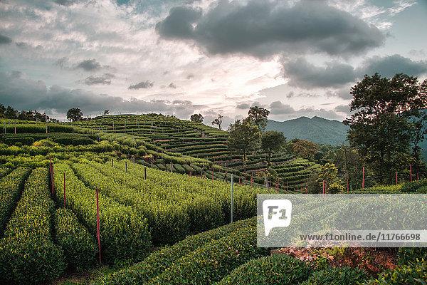 Longjing Tea fields in the hills near West Lake  Hangzhou  Zhejiang  China  Asia