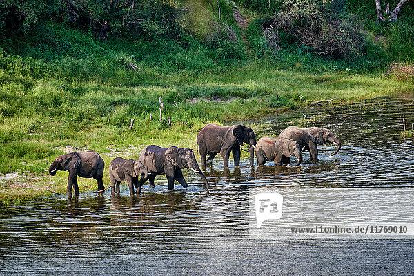 Afrikanische Elefanten  Makgadikgadi-Pans-Nationalpark  Botswana  Afrika