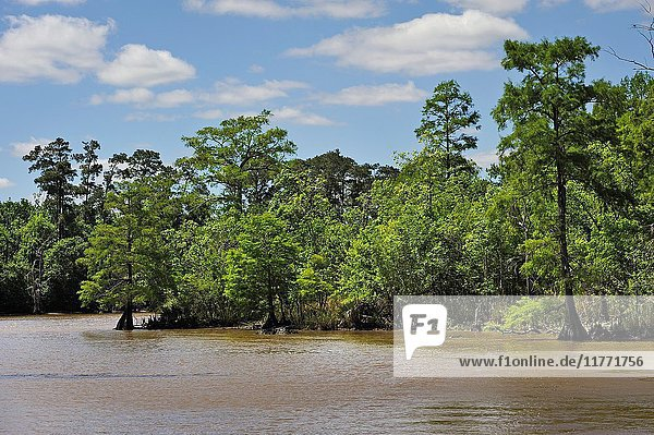 Cypress-lined backwater channel of Neches River  Beaumont  Texas  United States of America  North America