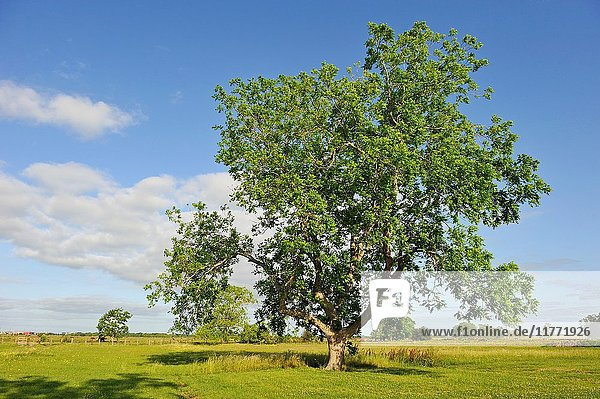 Pecan tree in a pasture beside Amelia Farm and Market  8600 Dishman Road  Beaumont  Texas  United States of America  North America