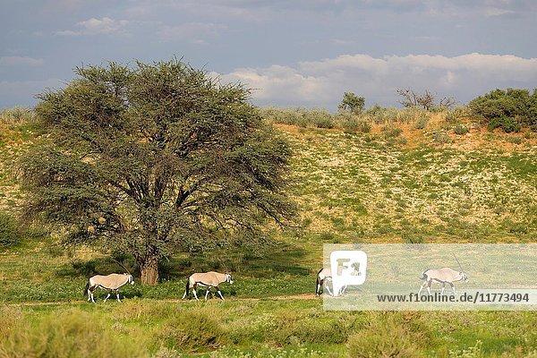 Gemsboks (Oryx gazella)  Kgalagadi Transfrontier Park  Kalahari desert  South Africa/Botswana.