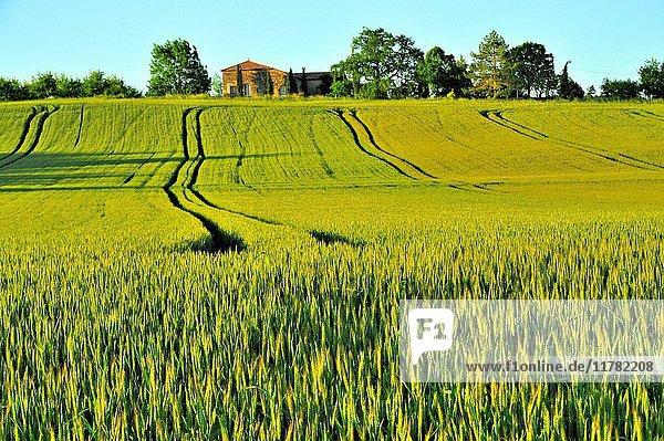 Wheat field near St. Colomb-de-Lauzun  Lot-et-Garonne Department  Aquitaine  France.
