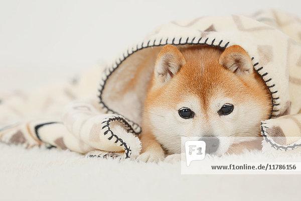 Shiba inu dog wearing blanket