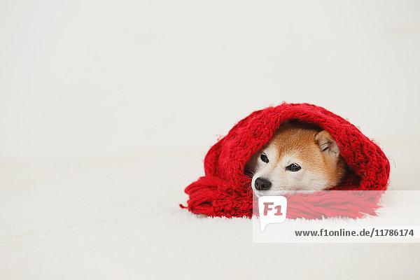 Shiba inu dog wearing scarf