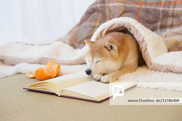 Shiba inu dog with book under kotatsu table