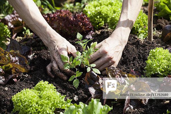 Männerhand pflanzt Tomatenpflanze in ein Beet