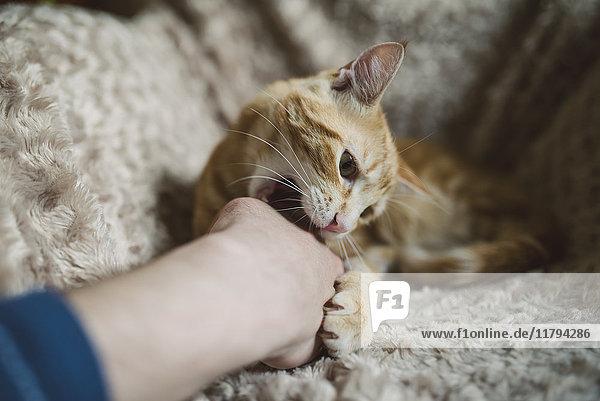 Tabby Katze beißt Hand seines Besitzers Tabby Katze beißt Hand seines Besitzers