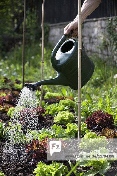 Man's Hand Gießen Köpfe von Salat im Garten