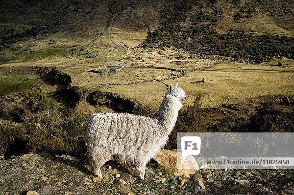 Alpaka auf dem Weg nach Cochayoq  Anden  Peru