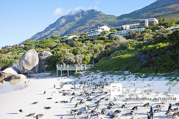 African Penguins on Boulders Beach  Western Cape  South Africa