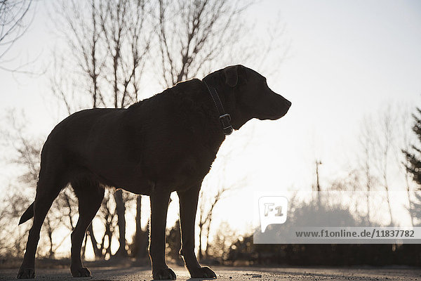 Silhouette of chocolate Labrador on asphalt road